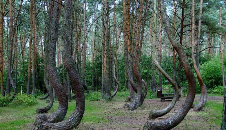 forêt tordue de Pologne